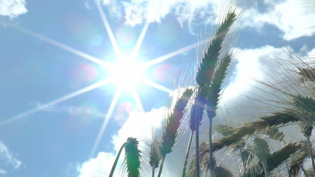 psenica, sunce, poljoprivreda, sunce, vreme, prognoza