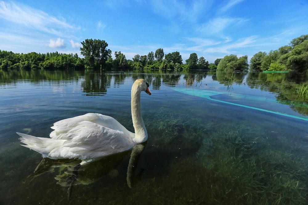 labud, reka, priroda, sordos, prolece, vreme, prognoza, ekologija