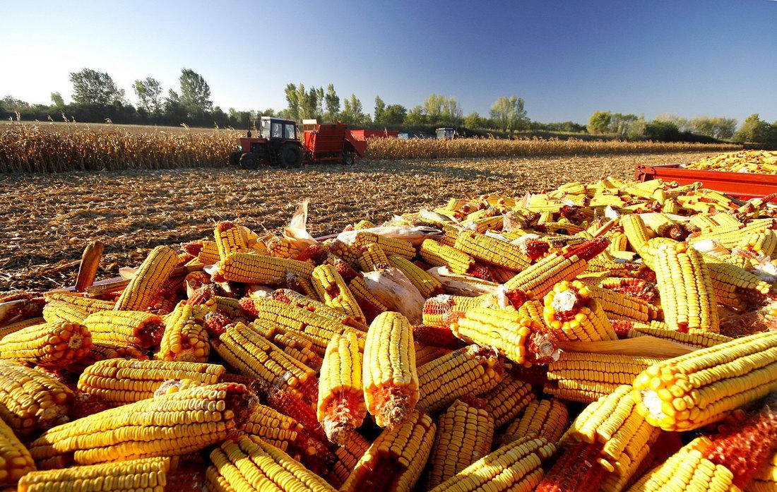 poljoprivreda, njiva, kukuruz, zemlja, 50
