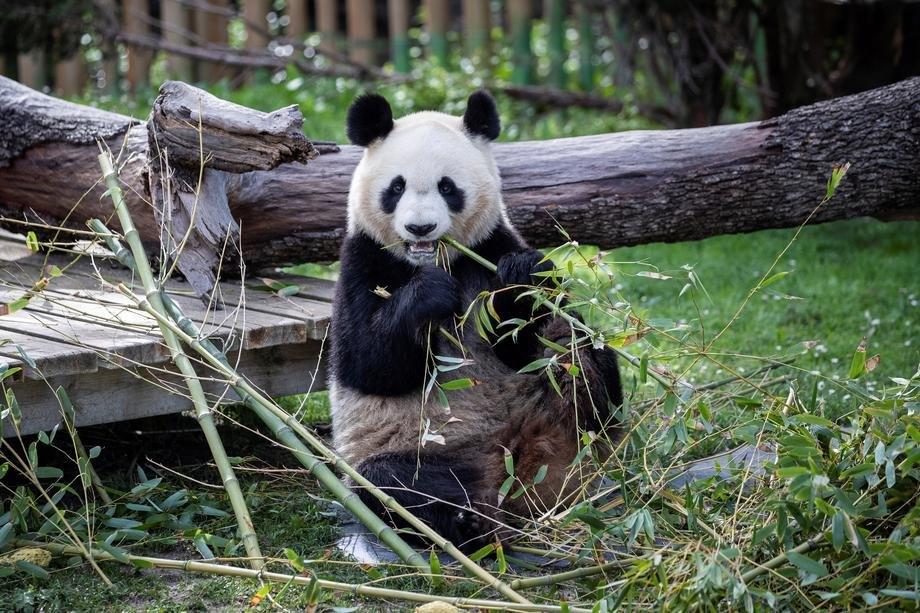 panda, pande, zivotonje