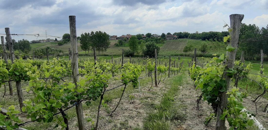 dolovo, vinograd