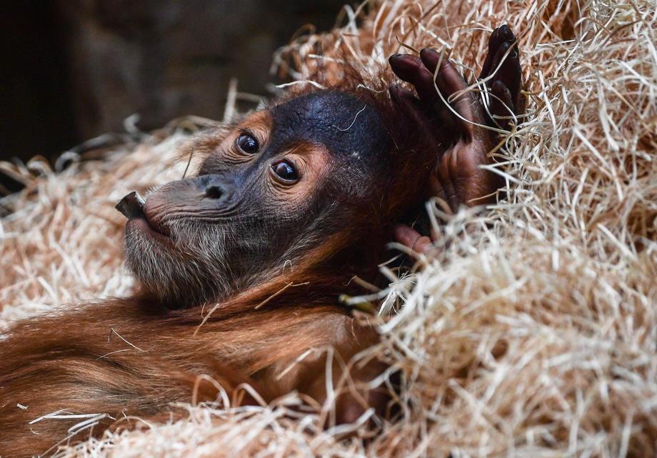 majmun, orangutan